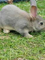Cinnamon rabbit Rabbits for sale in Plymouth, ME, USA. price: NA