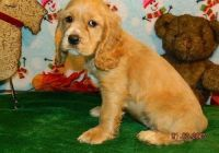 Clumber Spaniel Puppies for sale in Durham, NC, USA. price: NA