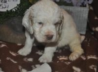 Clumber Spaniel Puppies for sale in Portland, OR, USA. price: NA