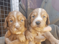 Clumber Spaniel Puppies for sale in Amherst, NH 03031, USA. price: NA