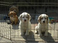 Clumber Spaniel Puppies for sale in Anchorage, AK, USA. price: NA
