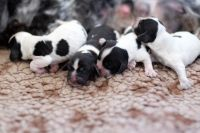 Clumber Spaniel Puppies for sale in NJ-17, Paramus, NJ 07652, USA. price: NA