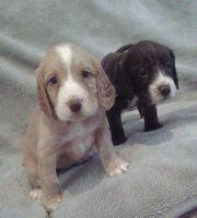 Clumber Spaniel Puppies Photos