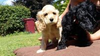 Clumber Spaniel Puppies for sale in Manchester, NH, USA. price: NA