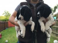 Clumber Spaniel Puppies for sale in California St, San Francisco, CA, USA. price: NA