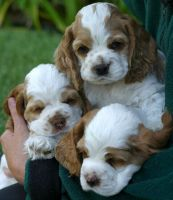 Clumber Spaniel Puppies for sale in Indianapolis Blvd, Hammond, IN, USA. price: NA