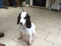 Clumber Spaniel Puppies for sale in Hartford, CT, USA. price: NA