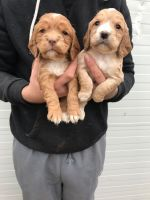 Clumber Spaniel Puppies for sale in Las Vegas, NV, USA. price: NA