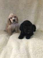 Clumber Spaniel Puppies for sale in New York, NY, USA. price: NA