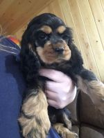 American Cocker Spaniel Puppies for sale in Depauville, NY, USA. price: NA