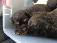 American Cocker Spaniel Puppies for sale in Huntsville, TX, USA. price: NA