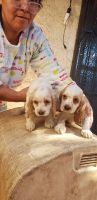 Clumber Spaniel Puppies for sale in Fullerton, CA, USA. price: NA