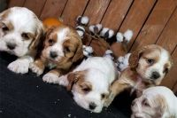 Clumber Spaniel Puppies for sale in California City, CA, USA. price: NA
