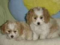 Cockachon Puppies for sale in Beaver Creek, CO 81620, USA. price: NA