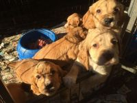 Cockachon Puppies for sale in Wheatland, WY 82201, USA. price: NA