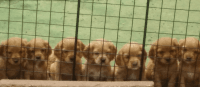 Cockachon Puppies for sale in Los Angeles, CA, USA. price: NA