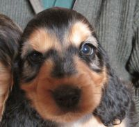 Cockachon Puppies for sale in NJ-38, Cherry Hill, NJ 08002, USA. price: NA