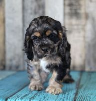 Cockachon Puppies for sale in Tucson, AZ, USA. price: NA