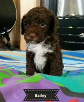 Cockachon Puppies for sale in San Marino, CA 91108, USA. price: NA