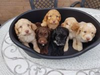 Cockachon Puppies for sale in TX-249, Houston, TX, USA. price: NA