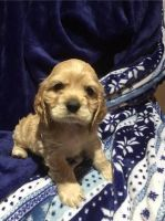 Cockachon Puppies for sale in Greenville, SC, USA. price: NA