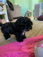 Cockachon Puppies Photos
