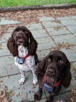 Cockalier Puppies Photos