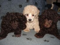 Cockapoo Puppies for sale in Corydon, IN 47112, USA. price: NA