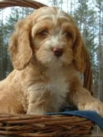 Cockapoo Puppies for sale in Bronx, NY 10455, USA. price: NA