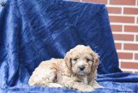Cockapoo Puppies for sale in Clovis, CA 93611, USA. price: NA