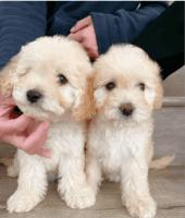 Cockapoo Puppies for sale in Modesto, CA 95350, USA. price: NA