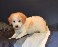 Cockapoo Puppies for sale in Celina, OH 45822, USA. price: NA
