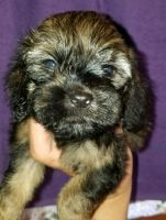 Cockapoo Puppies for sale in Golden Valley, AZ 86413, USA. price: NA