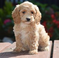 Cockapoo Puppies for sale in Beverly Hills, CA, USA. price: NA