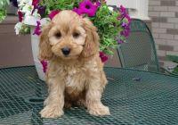 Cockapoo Puppies for sale in Mesa, AZ, USA. price: NA