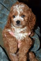Cockapoo Puppies for sale in West Alexandria, OH 45381, USA. price: NA