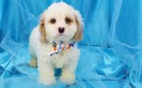 Cockapoo Puppies for sale in Yazoo City, MS 39194, USA. price: NA