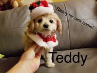 Cockapoo Puppies for sale in Los Angeles, CA 90006, USA. price: NA