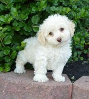 Cockapoo Puppies for sale in North Fork, ID 83466, USA. price: NA
