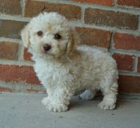Cockapoo Puppies for sale in Austin, TX, USA. price: NA