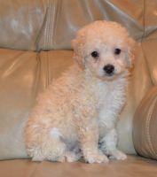 Cockapoo Puppies for sale in Marysville, MI, USA. price: NA