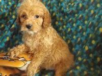 Cockapoo Puppies for sale in Estacada, OR 97023, USA. price: NA