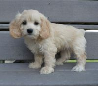 Cockapoo Puppies for sale in Bronx, NY, USA. price: NA