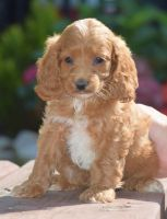 Cockapoo Puppies for sale in Chappells, SC 29037, USA. price: NA