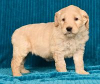 Cockapoo Puppies for sale in Las Vegas Trail, Fort Worth, TX, USA. price: NA