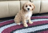 Cockapoo Puppies for sale in Pewaukee, WI, USA. price: NA