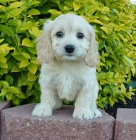Cockapoo Puppies for sale in Cheyenne, WY, USA. price: NA