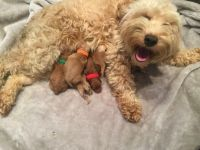 Cockapoo Puppies for sale in Jacksonville, FL, USA. price: NA
