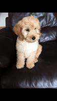 Cockapoo Puppies for sale in 15201 San Pedro Ave, San Antonio, TX 78232, USA. price: NA