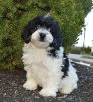 Cockapoo Puppies for sale in Morgan City, MS, USA. price: NA